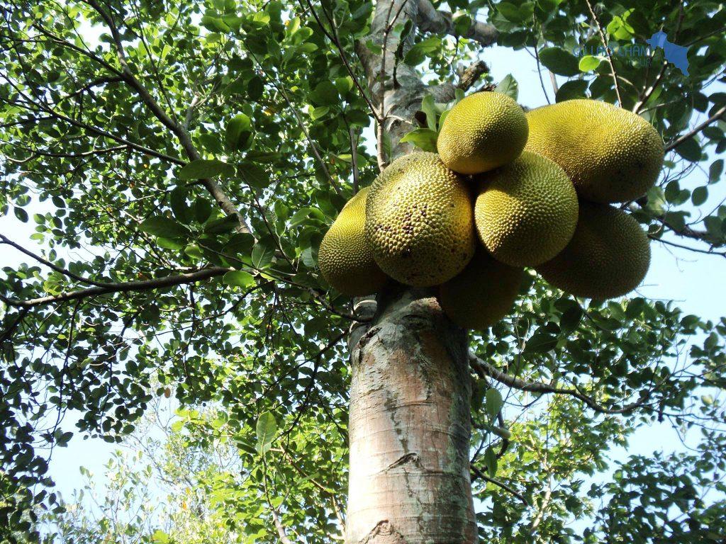 Vườn trái cây rộng hơn 2 hecta tại Rẫy Ông Bàng