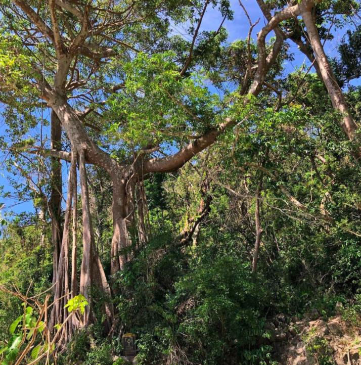Cây đa di sản ngàn năm tại Hòn Lao Cù Lao Chàm