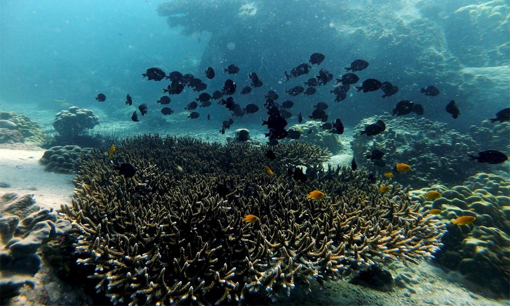 San hô biển Cù Lao Chàm